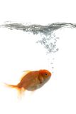 Pets fish in water. Golden fish breathing in water Stock Images