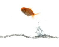 Pets fish on water Royalty Free Stock Image