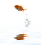 Pets fish on water Royalty Free Stock Photo