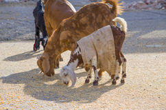 Pets of a goat eat a forage Stock Images