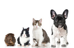 Pets. Guinea pig, rabbbit, cat and dog isolated on white