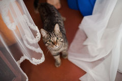 Pets on holiday. Cats at the wedding gatherings of the bride.Healthy cats at home Stock Photography