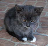 Pets kitten Stock Image
