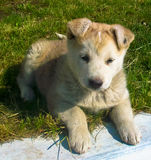 Pets mongrel puppy Royalty Free Stock Image