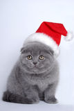 Pets New Year, grey cat. Grey cat lop-eared-Scot at the white background in a red New Year's hat. Siting and looking with nice glance Royalty Free Stock Images