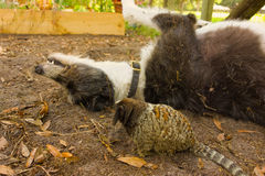 Pets in a paddock in florida. A lurcher and a marmoset at a horse farm in ocala stock photos