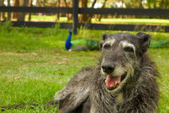 Pets in a paddock in florida Stock Photo