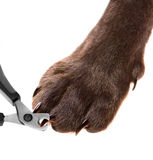 Pets pedicure - claw trimming Royalty Free Stock Images