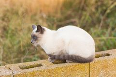 Pets and pedigree animals concept - Portrait of the siamese cat with blue eyes royalty free stock photos