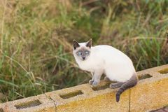 Pets and pedigree animals concept - Portrait of the siamese cat with blue eyes stock images