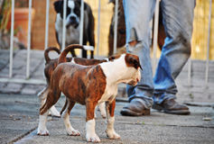A pets perspective. A pair of cute little pet  Boxer purebred puppies look back lovingly at their mother dog through the gate that is separating them. They have Stock Photo