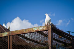 Pets doves. Royalty Free Stock Photos