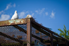 Pets doves. Pets doves on the dovecote Royalty Free Stock Photography