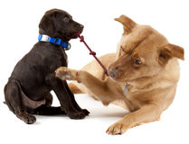 Pets playing Tug-of-War Stock Images