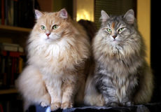 Pets. Portrait of two Siberian cats. Stock Images