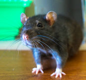 Pets rat. Pets little gray fluffy rat Stock Photo