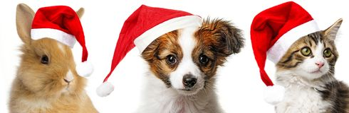Pets with santa caps. Cute papillon puppy and cat and rabbit with red santa caps Stock Image