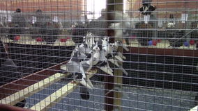 Pets show. Birds in a cage in pets exhibition in Bucharest stock video
