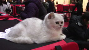 Pets show. White cat in pets exhibition in Bucharest stock video