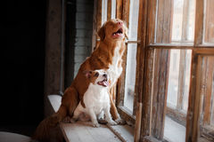 Pets sitting on a window sill at a wooden window, Dogs Jack Russell Terrier and Nova Scotia Duck Tolling Retriever. Funny pets sitting on a window sill at a stock photo