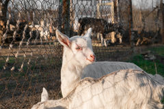 Pets small white goat. On farm Royalty Free Stock Images