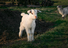 Pets small white goat. On green grass Stock Photography