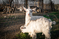 Pets two small white goat Royalty Free Stock Photos