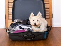 Pets on vacation: scruffy west highland terrier westie dog in pa. Cked suitcase luggage of clothes royalty free stock photography