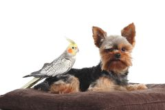 Pets yorkshire Terrier and cockatiel bird posing together on a pillow Stock Photography