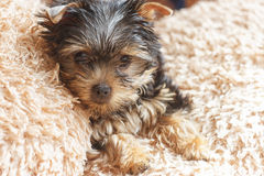 Pets. Yorkshire terrier puppy is laying  on the carpet Royalty Free Stock Photography