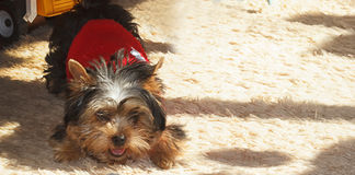 Pets. Yorkshire terrier puppy is laying  on the carpet Stock Image