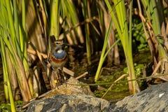 Pettazzurro che si siede su una pietra nella canna - svecica di Luscinia Fotografie Stock Libere da Diritti