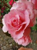 Pettels rosa di Rose Flower Gardening Nature fotografia stock