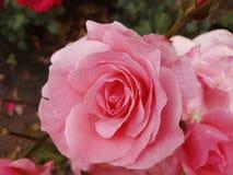 Pettels rosa di Rose Flower Gardening Nature immagini stock