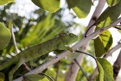 Petter ` s kameleon, Furcifer Petteri jest stosunkowo obfity w obszarach przybrzeżnych północny Madagascar zdjęcia stock