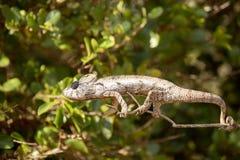 Petter ` s kameleon, Furcifer Petteri jest stosunkowo obfity w obszarach przybrzeżnych północny Madagascar fotografia stock