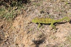 Petter ` s kameleon, Furcifer Petteri jest stosunkowo obfity w obszarach przybrzeżnych północny Madagascar obrazy royalty free