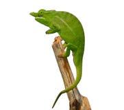 Petters变色蜥蜴 免版税库存图片