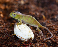Petters Chameleon Royalty Free Stock Photography