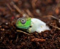 Petters Chameleon Stock Image