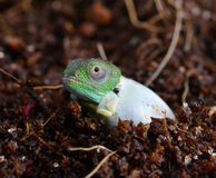 Petters Chameleon Royalty Free Stock Images