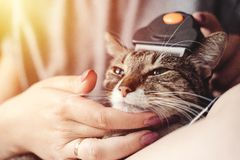 Pettinando fuori la lana dal gatto, la cura per il cappotto del gatto, il rusher, ospite pettina la pelliccia fuori dal gatto fotografia stock libera da diritti