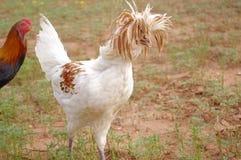 Pettinatura pazza di un gallo crestato polacco immagini stock libere da diritti