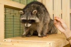Petting ζωολογικός κήπος ρακούν Στοκ Εικόνα