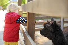 Petting λάμα μικρών παιδιών Παιδί ο ζωολογικός κήπος Παιδί που έχει τη διασκέδαση στο αγρόκτημα με τα ζώα Παιδιά και ζώα στοκ εικόνες με δικαίωμα ελεύθερης χρήσης