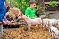 Petting свиньи Стоковые Изображения