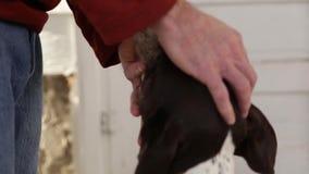 Petting собаки - немецкий shorthaired указатель видеоматериал