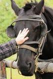 Petting черная лошадь с уздечкой и мигателями стоковые изображения rf