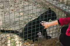 petting черная пантера Стоковая Фотография