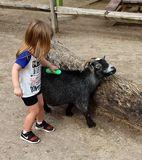 Petting animals in the Zoo. A goat enjoying being brushed by a young girl Royalty Free Stock Photography